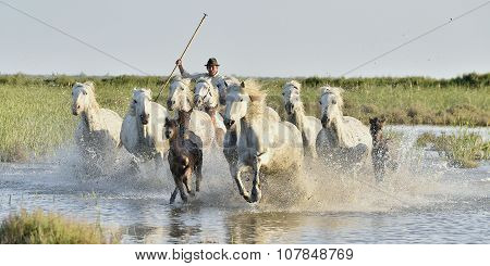 Herd Of White Horses Running Through Water In Sunset Light.