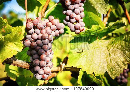 Fresh Organic Grape On Vine Branch