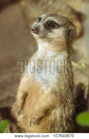 Meerkat (surikate) Standing On Its Hind Legs In Loro Parque, Tenerife