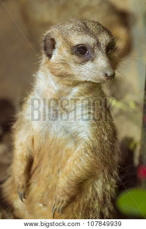 Meerkat (surikate) Standing On Its Hind Legs In Loro Parque