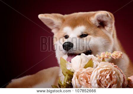 Beautiful Akita Inu puppy