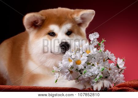 Beautiful Akita Inu puppy