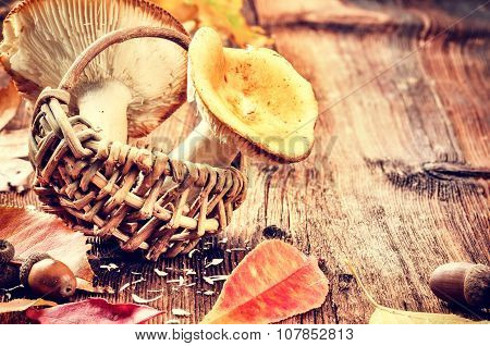 Autumn Still Life With Forest Mushrooms (russula)