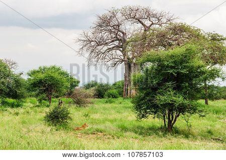 Hunting Lion In Tarangire Park, Tanzania