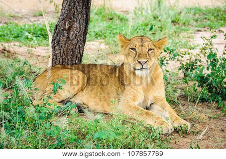 Happy Lion In Tarangire Park, Tanzania