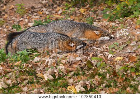 Two Grey Fox (urocyon Cinereoargenteus) Run Through Leaves