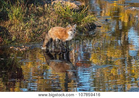 Red Fox (vulpes Vulpes) Stands On Rock In Pond