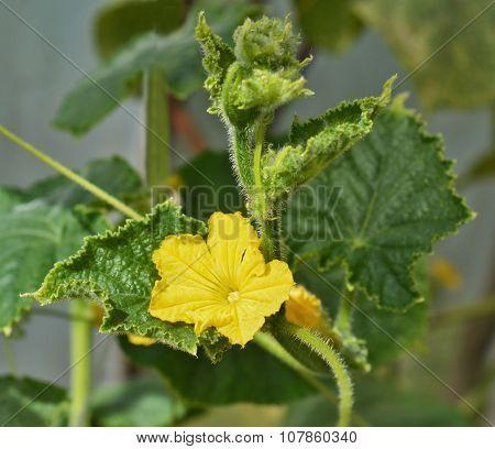 Flower Of Zucchini