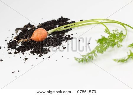 Garden Carrot With Leaves And Soilsoil