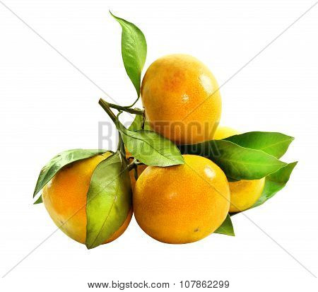 Tangerines On A Branch