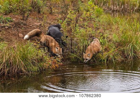 Trio Of Fox (vulpes Vulpes) Look Into Water