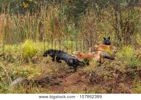 Red Fox Chases Silver (vulpes Vulpes)