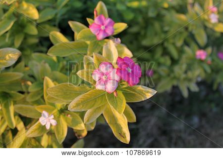 Impatiens flower on a background of green foliage fragrant