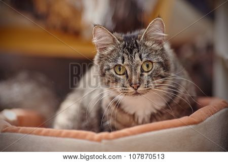 Portrait Of A Cat With Yellow Eyes Of A Striped Color.