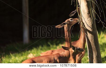 Southern gerenuk, Litocranius walleri