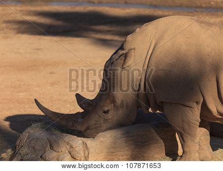 White African rhinoceros, Ceratotherium simum
