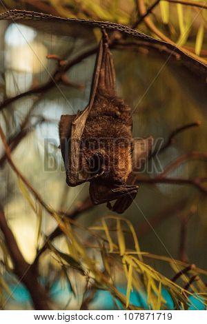 Rodrigues fruit bat, Pteropus rodricensis