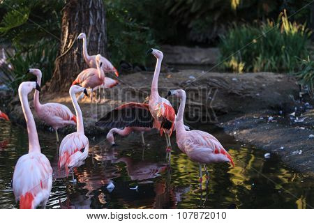 Chilean flamingos, Phoenicopterus chilensis