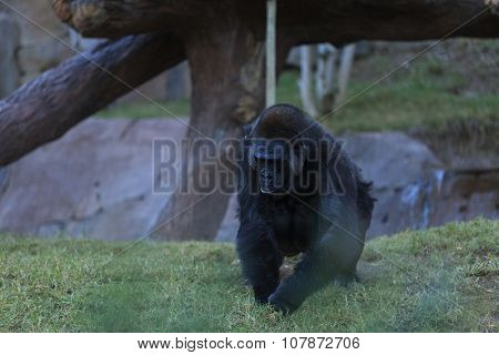 Gorilla in fall