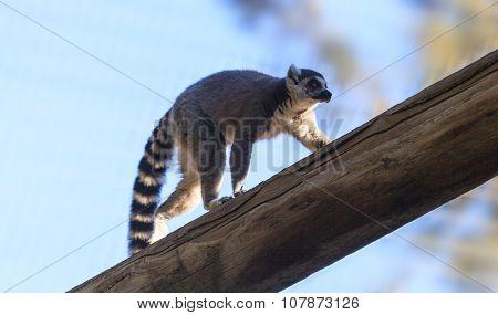 Lemur, Lemuroidea