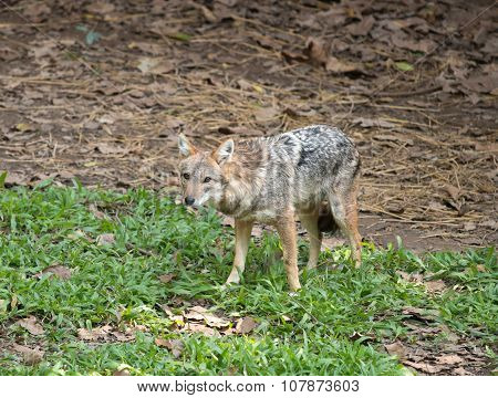 Golden Or Asiatic Jackal ( Canis Aureus )