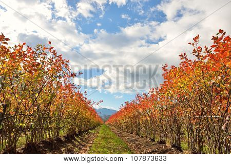 Rows Of Blueberry Bushes In Fall Color