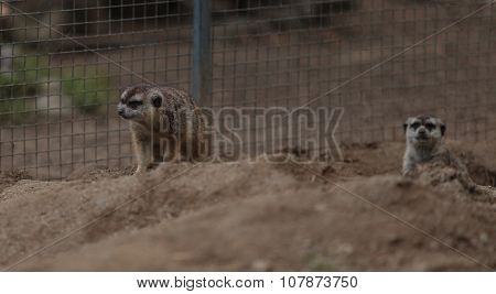 Meerkats, Suricata suricatta