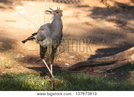 Secretary bird, Sagittarius serpentarius