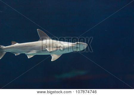 Hammerhead shark, Sphyrna lewini