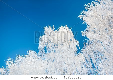 Birch Tree With Hoarfrost Against The Blue Sky