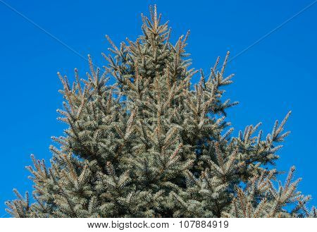Blue Spruce On The Nature