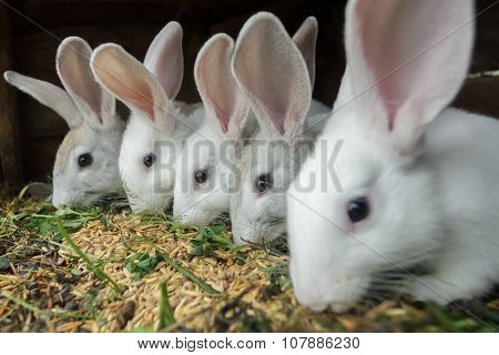 Row Of Domestic Rabbits Eating Grain And Grass In Farm Hutch