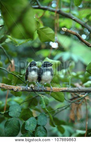 Little Pied Fantail Birds on Kaffir Lime Tree
