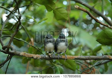 Little Pied Fantail Birds on Kaffir Lime Tree