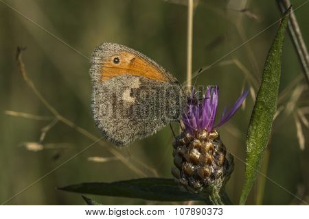 Small heath butterfly (coenonympha Pamphilus)