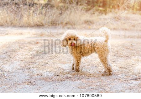 Small Poodle In Autumn Forest.