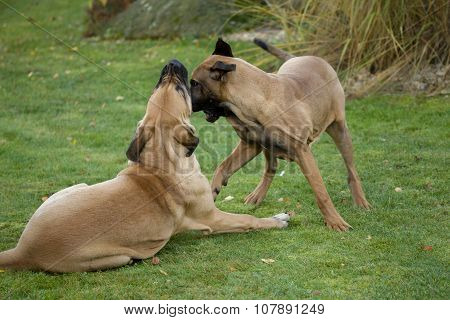 Two Female Of Fila Brasileiro (brazilian Mastiff)
