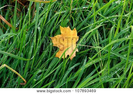 Autumn Leaf On Morning Dew Green Grass.