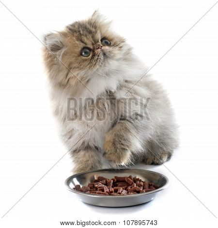 Eating Persian Kitten
