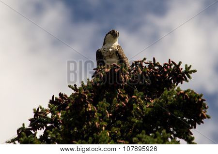 Osprey perched on a tree