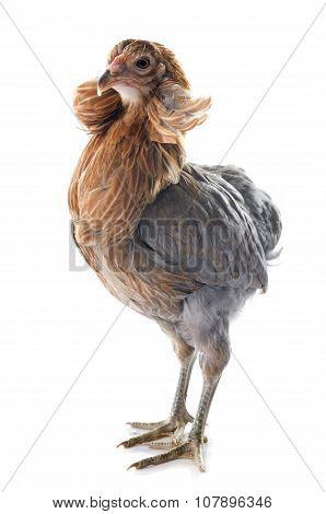 Gray Araucana Chicken