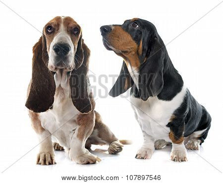 Senior And Young Basset Hound
