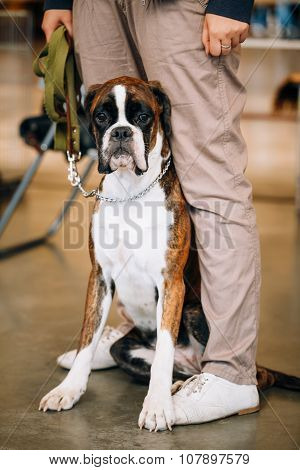 Boxer Dog Sitting near Owner