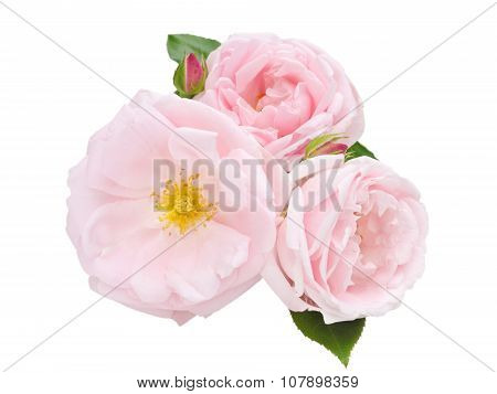 Three Pale Pink Roses Isolated On White