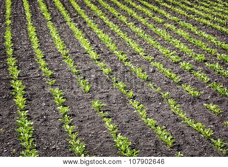 Seedlings Crop Field In Spring, Agricultural Theme
