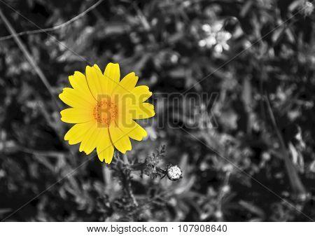 yellow margaret black and white background