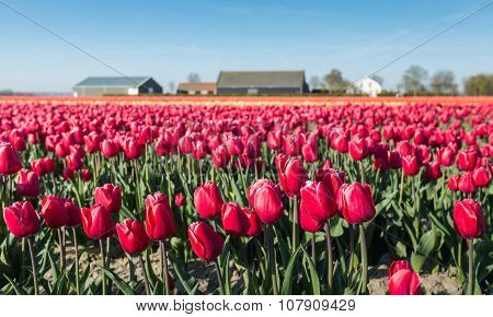 Cultivation Of Red Blooming Tulips