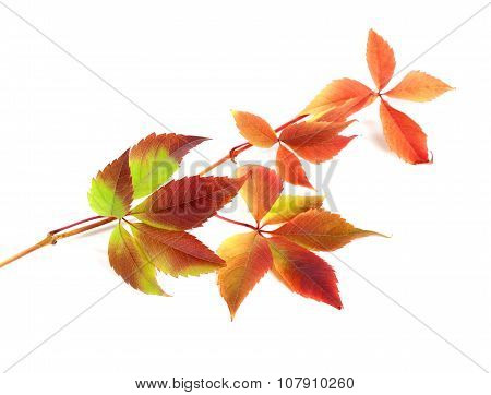 Multicolor Autumn Twig Of Grapes Leaves On White