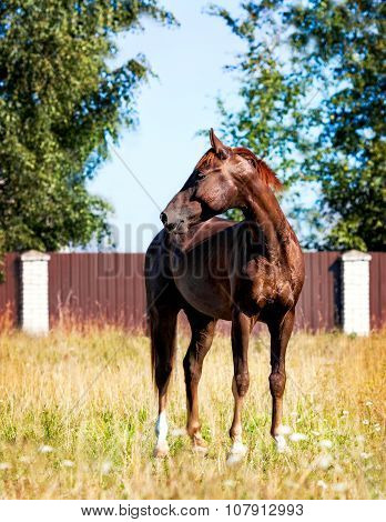 Portrait Of A Young Horse, Walking On The Loose