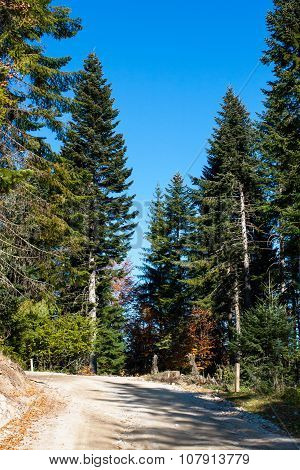 Forest environment background with green pine trees and path in the wood